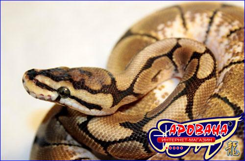 Python Regius - питон королевский для террариума.