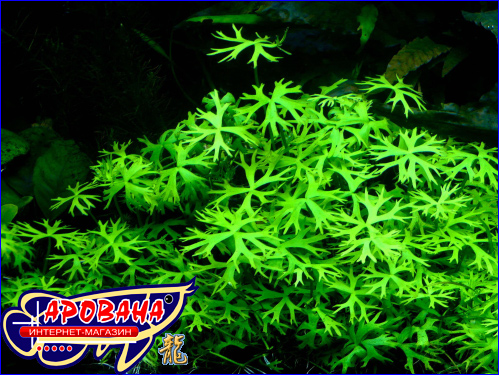 Ranunculus Inundatus - растение Ранункулус Инундатус.