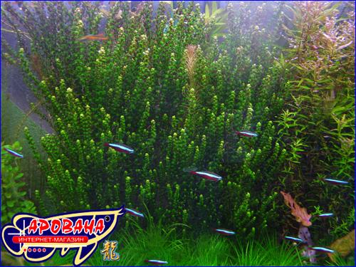 Rotala perls (Ротала перлс), - редкое растение для аквариума.