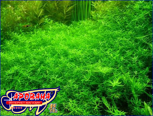 Rotala Rotundifolia sp. Green - �������� ��� ��������� ������ ������������� ����.