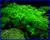 ����������� ��������, Rotala Rotundifolia sp. Green.
