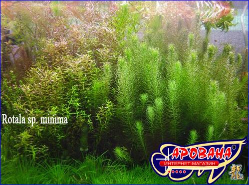 Rotala sp. minima (Ротала макранда сп. минима), - привлекательные водные растения в аквариум.