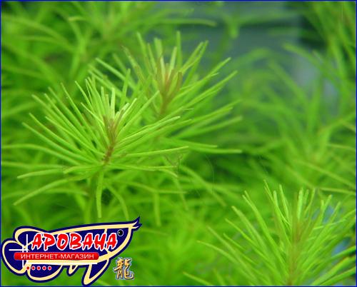 Rotala sp. Nanjenshan - растение в аквариум Ротала Наньеншан.