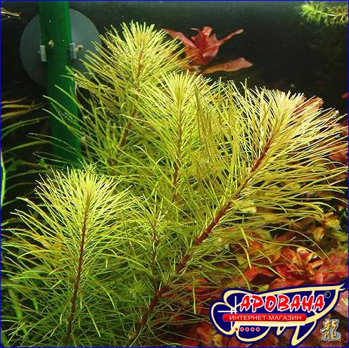 Rotala wallichii sp. Vietnam (Ротала валиха вар. Вьетнам), - растение для голандского аквариума.