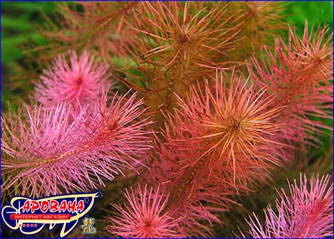 Rotala wallichii (Ротала Валлиха), - растение аквариумное в нано аквариум.