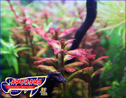 Ludwigia senegalensis (Людвигия сенегальская), - аквариумные растения для оформления аквариума.