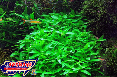 Staurogyne sp (Стаурогин), - растение аквариумное для переднего плана.
