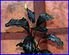 ����������� ��������, Bucephalandra sp. Theia Black.