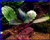 ����������� ��������, Bucephalandra sp. Theia 9.
