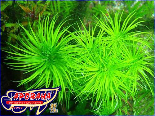 Tonina sp Manaus, - аквариумное растение Тонина Манаус.