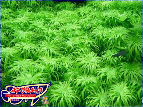Tonina sp.Belem (Тонина Белем), - редкое аквариумное растение.
