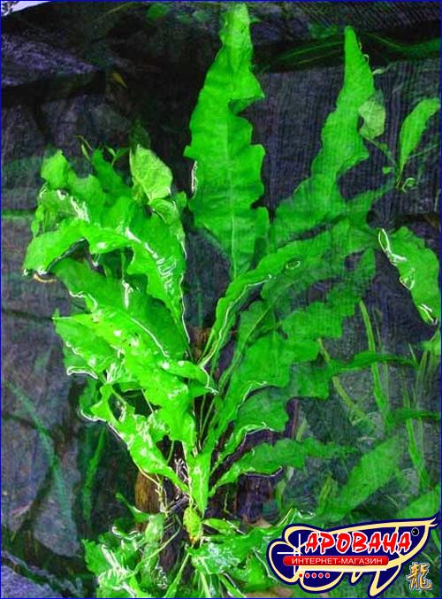 Microsorum Pteropus Undulata - папоротник для аквариума.