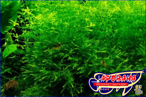 Willow Moss (Fontinalis antipyretica) - мох Фонтиналис противоогневой.