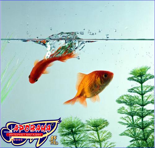 Содержание и уход за аквариумными рыбками не так уж и сложен, вам необходимо лишь придерживаться определенных правил по уходу и содержанию аквариумных рыбок.
