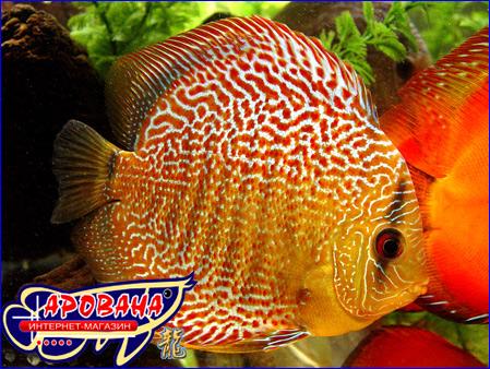 Как лечить больных рыбок вам расскажет лишь специалист, сами вы вряд ли определите, чем конкретно больны рыбки.