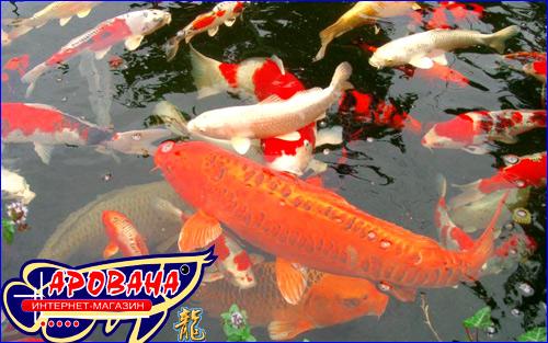 Кои ЦВЕТ 500 ml - корм для рыб в пруду высокого качества для кормления всех видов прудовых рыб и карпов КОИ.