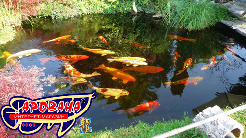 Сбалансированный корм для золотых рыб и карпов КОИ для пруда.