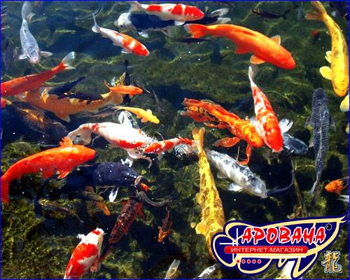 Кои МАКСИ 500 ml, - основной корм для взрослых карпов кои и других крупных прудовых рыб.